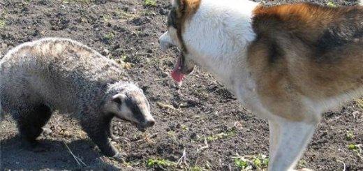Охота на барсука с лайкой