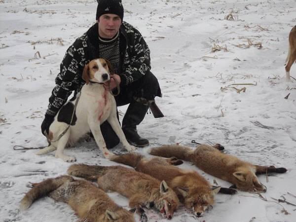 Охота на лису с гончей