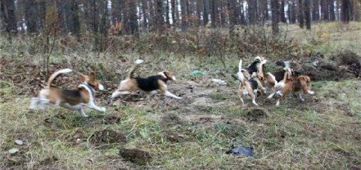 Испытания охотничьих собак