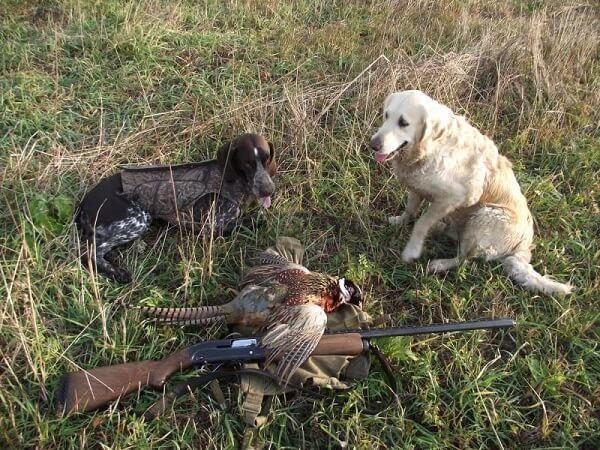 Охота на фазана с ретривером