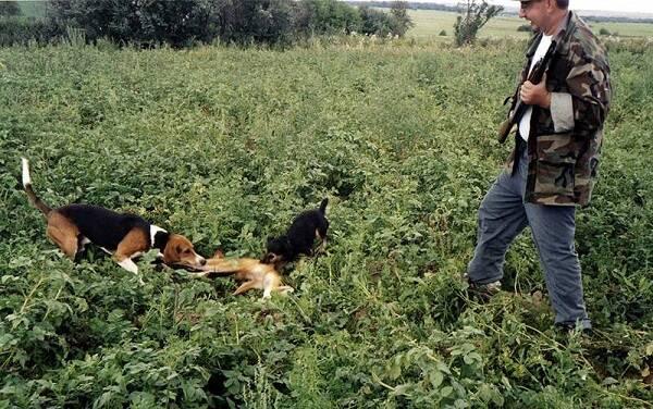 Охота с эстонской гончей видео