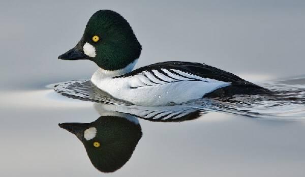 фото гоголь птица