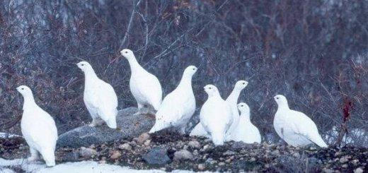Ловля белой куропатки
