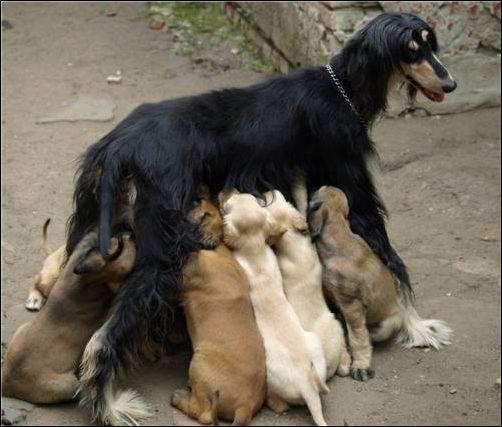 Кормление щенков борзых
