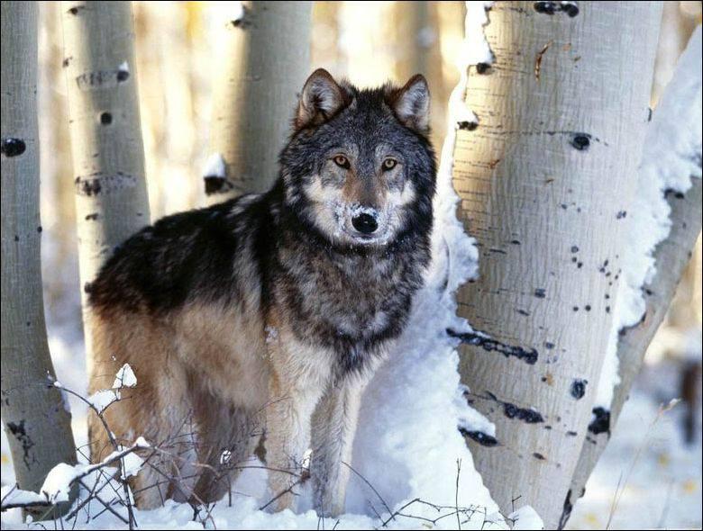 Охота на встречных волков