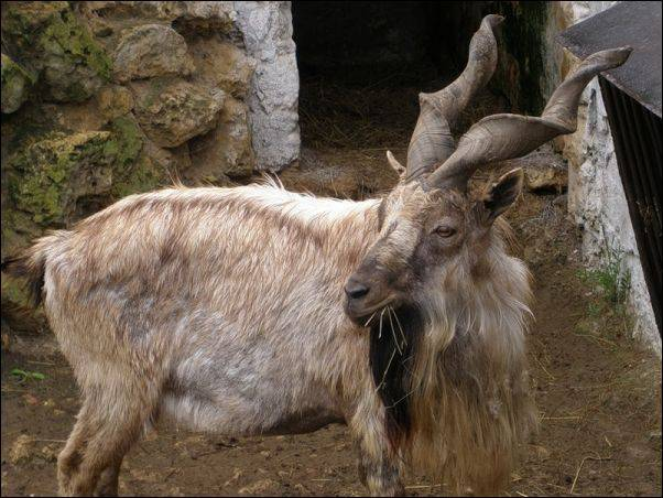 Винторогий козел