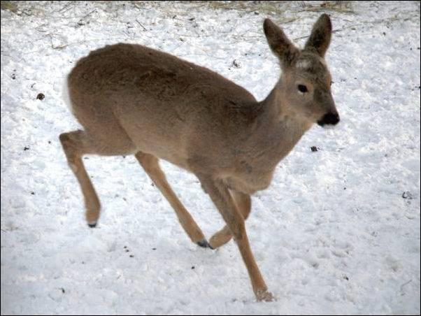Охотничья фауна в Германии