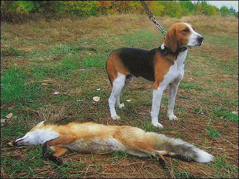 На охоте с гончей