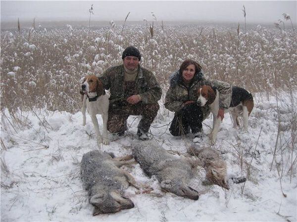 Охота на волков с гончими