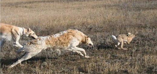 Охота с борзой в России