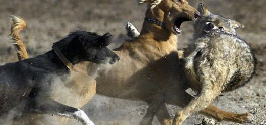 Охота с тайганом