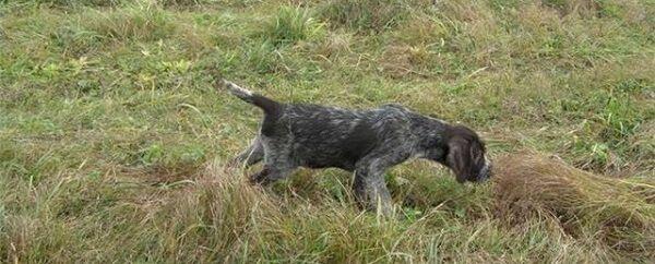 Подготовка собак к охоте