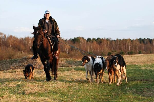 Русская псовая борзая на охоте
