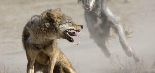 Травля волка