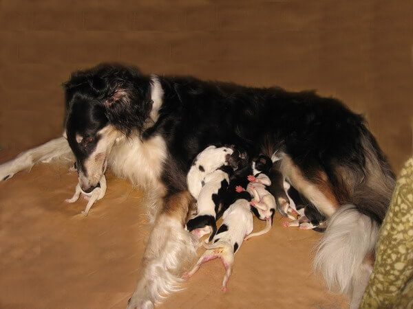 Уход за щенками борзых
