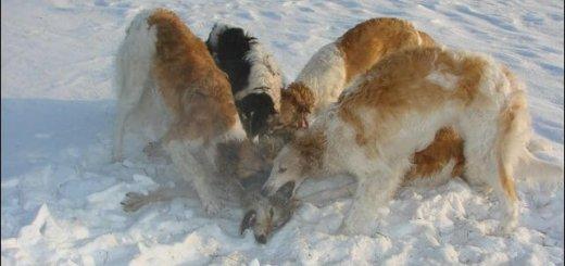 Злоба русской псовой борзой