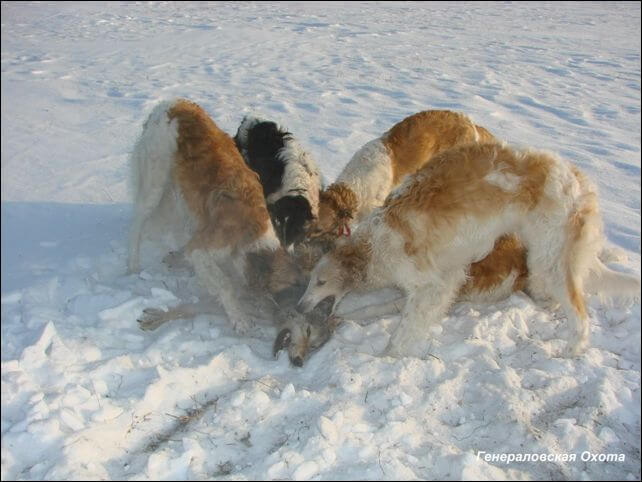 http://www.hunt-dogs.ru/wp-content/uploads/2011/01/zloba_russkoi_psovoi_borzoi_2.jpg