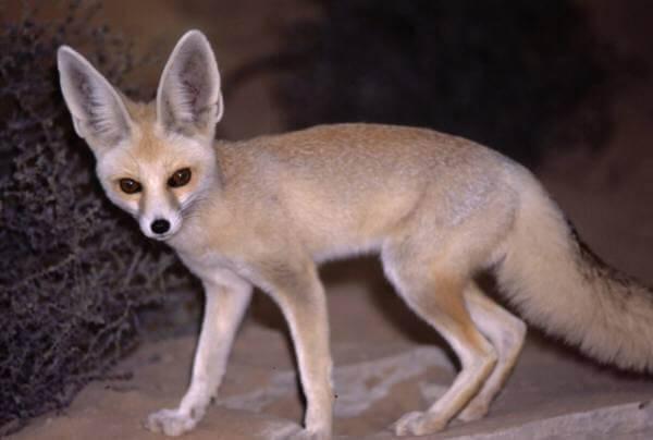 Афганская лисица