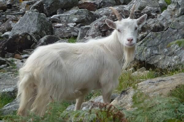Бородатый козел