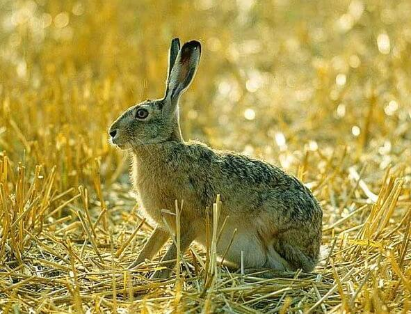 Добыча зайца-русака