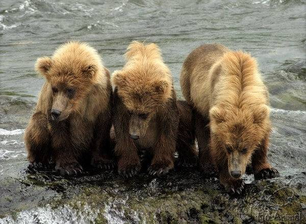 Медвежата бурого медведя