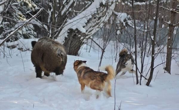 Натаска охотничьих собак