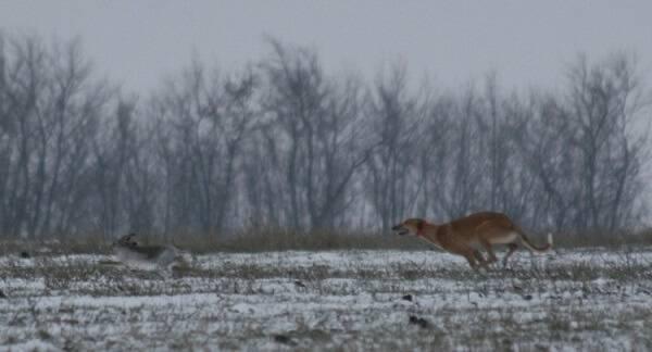 Охота на зайцев с собаками