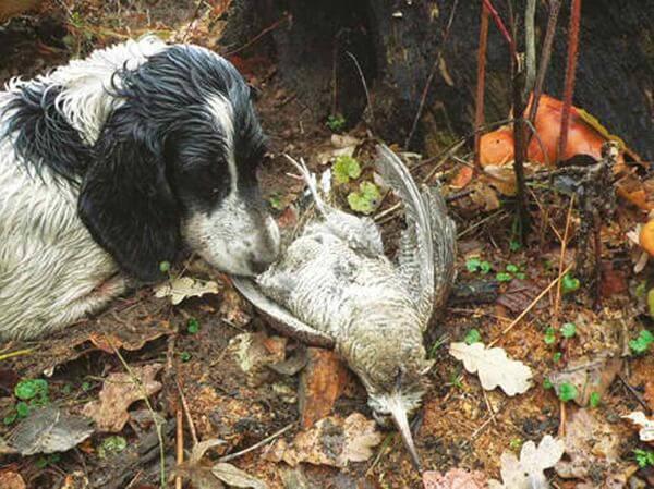 Охота на вальдшнепа с собакой