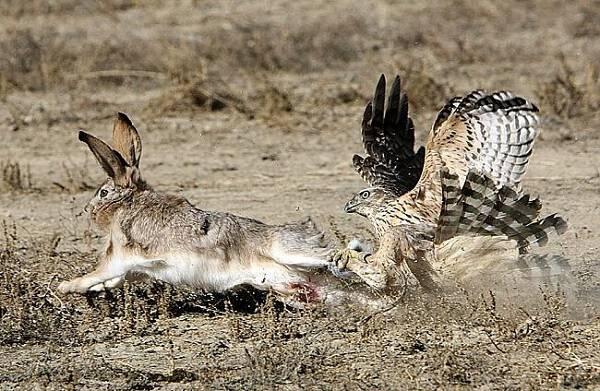 Охота на зайца с соколом