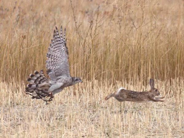 Охота на зайца с ястребом-тетеревятником