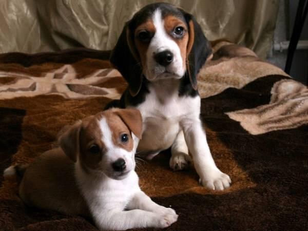 Щенки Бигль - охотничьей породы собак