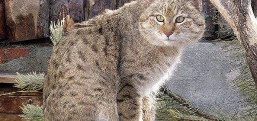 Степной кот