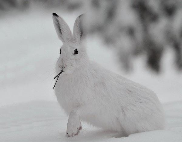 Численность зайцев - Охота и рыбалка в России и за рубежом