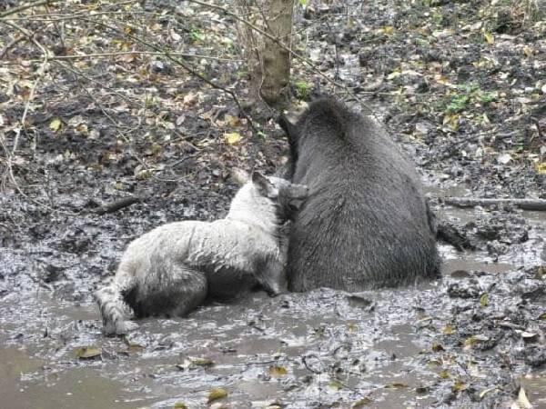 Зверовые собаки