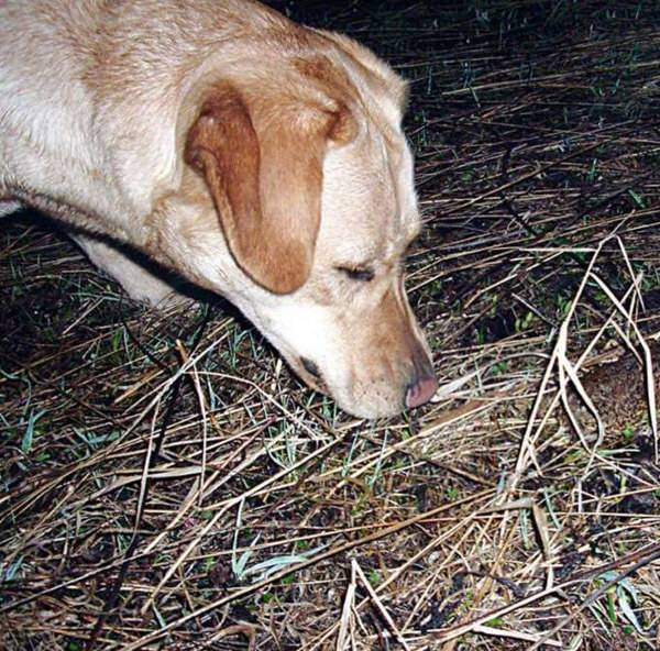 Чутье охотничьих собак