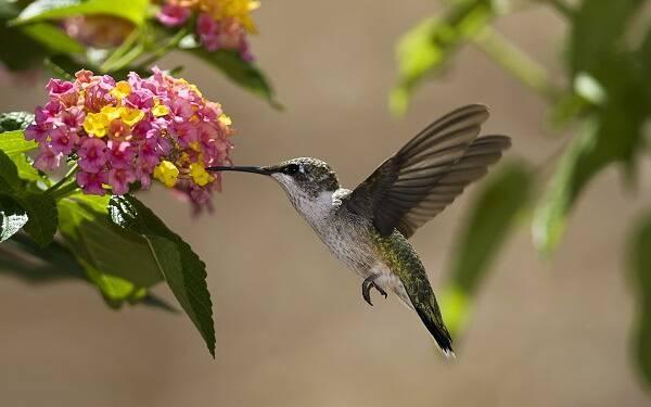 Колибри питается нектаром
