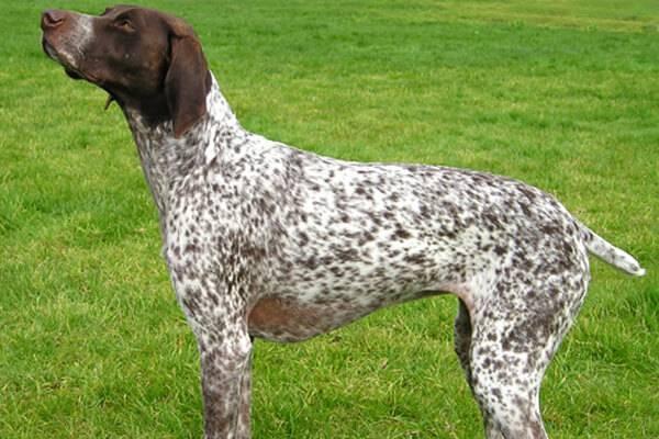 Курцхаар - немецкая короткошерстная легавая собака