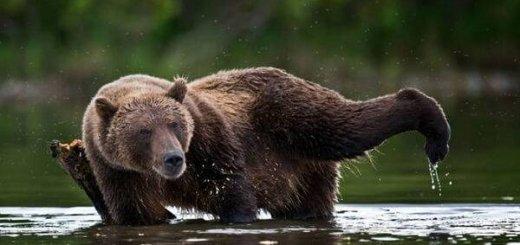 Курильский медведь