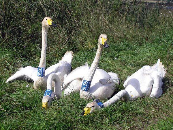 Лебеди-кликуны с ошейниками