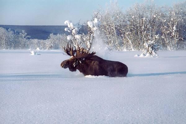 Лось зимой