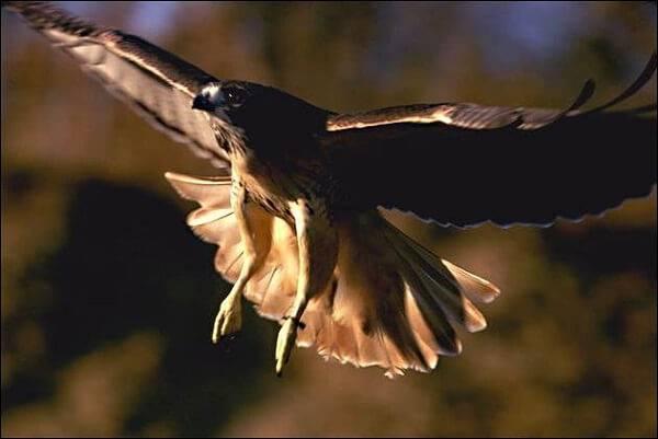 Ястреб - хищная птица