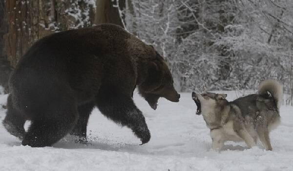 Охота на бурых медведей