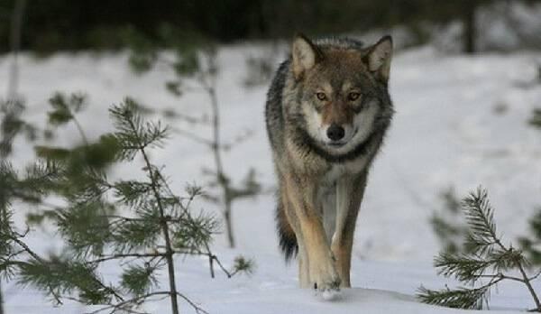 Ночная охота на волков видео