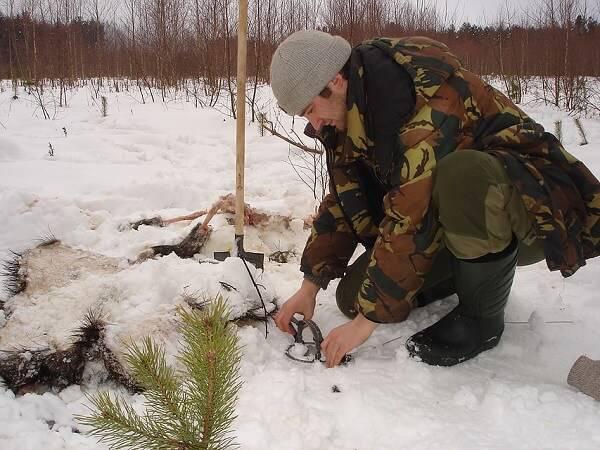 Охота на лису с капканом