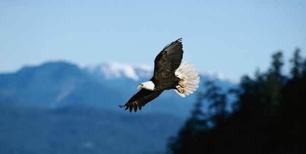 Орел - хищная птица
