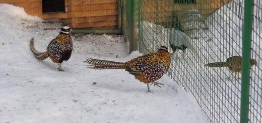 Вольерное разведение фазанов