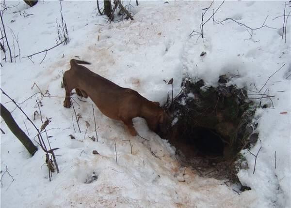 Случай на норной охоте