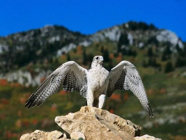 Сокол - хищная птица