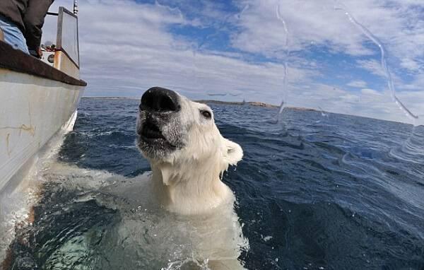 Встреча с белым медведем