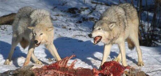 Истребление волков